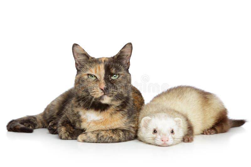 背景猫白鼬白色 库存图片