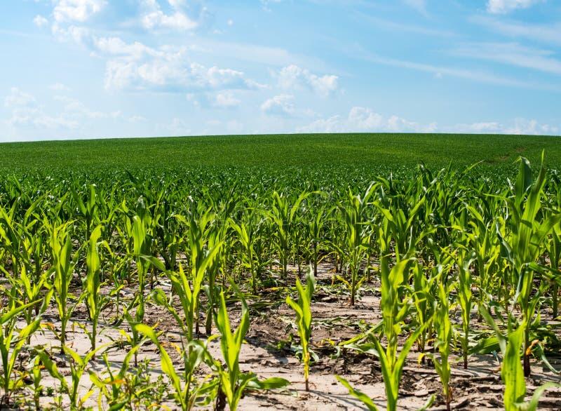 背景玉米夜间域小山 免版税库存照片