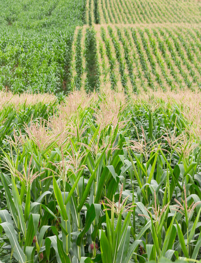 Download 背景玉米夜间域小山 库存图片. 图片 包括有 玉米, 地产, 培养, 问题的, 蔬菜, 横向, 增长, 庄稼 - 59104669