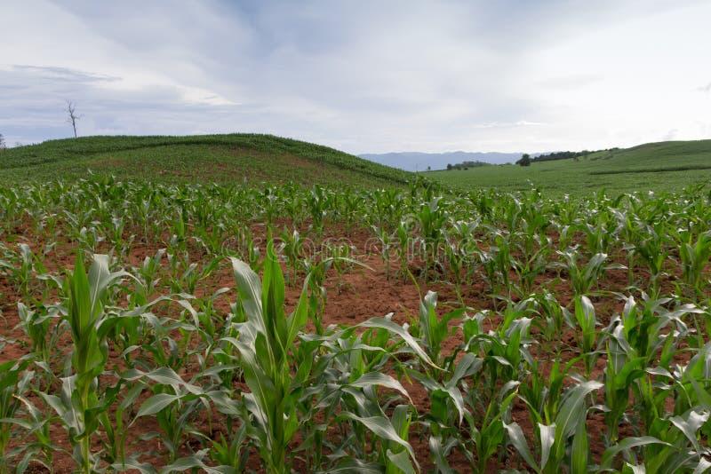 Download 背景玉米夜间域小山 库存照片. 图片 包括有 谷物, 横向, 地产, 本质, 问题的, 玉米, 场面, 绿色 - 59104692