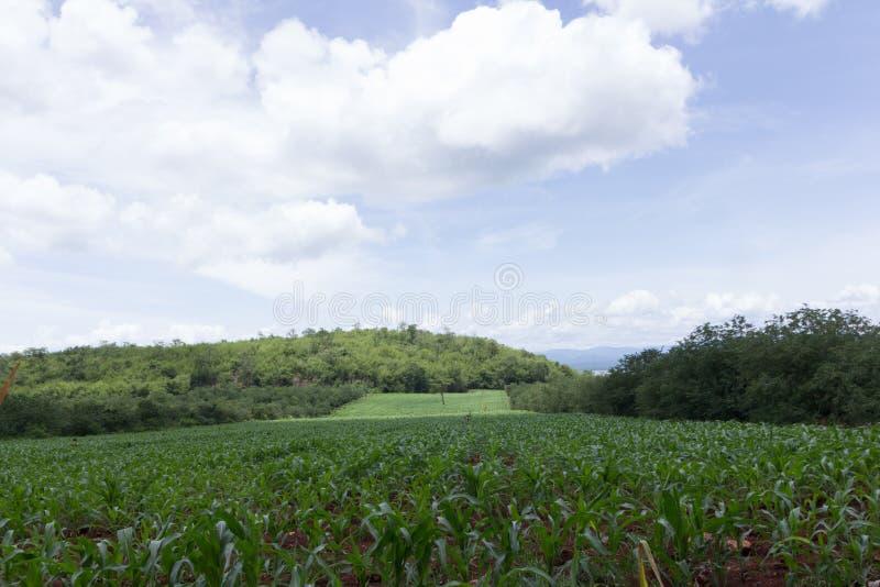 Download 背景玉米夜间域小山 库存照片. 图片 包括有 场面, 地产, 培养, 绿色, 农场, 玉米, 增长, 问题的 - 59105850