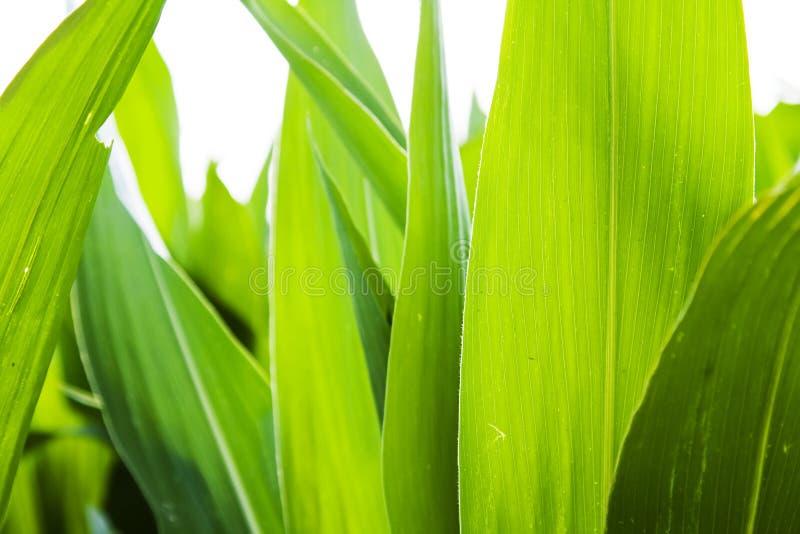 背景玉米 库存照片