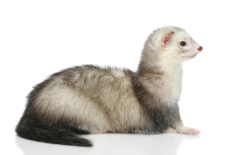 背景白鼬位于的白色 免版税图库摄影