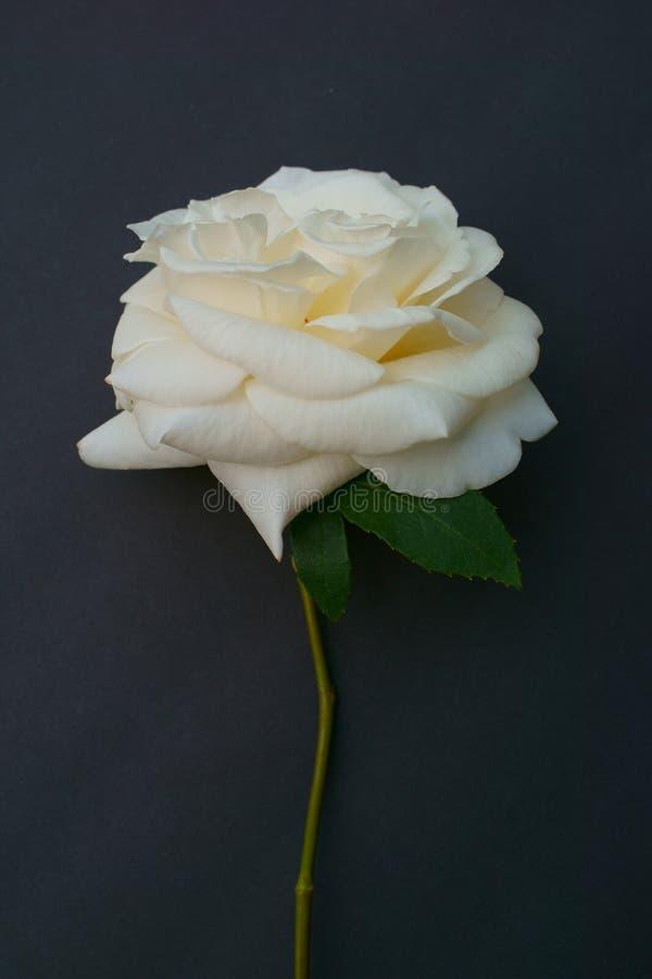 黑背景的典雅的唯一白玫瑰 免版税库存图片