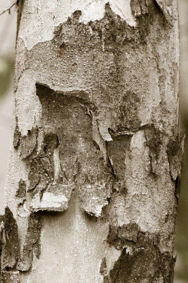 背景的吠声树 库存图片