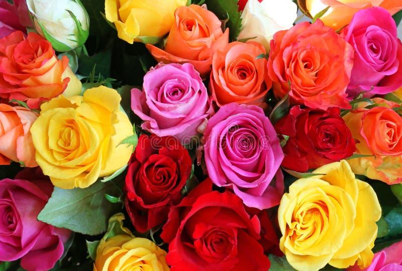 背景的多色的玫瑰 免版税库存图片
