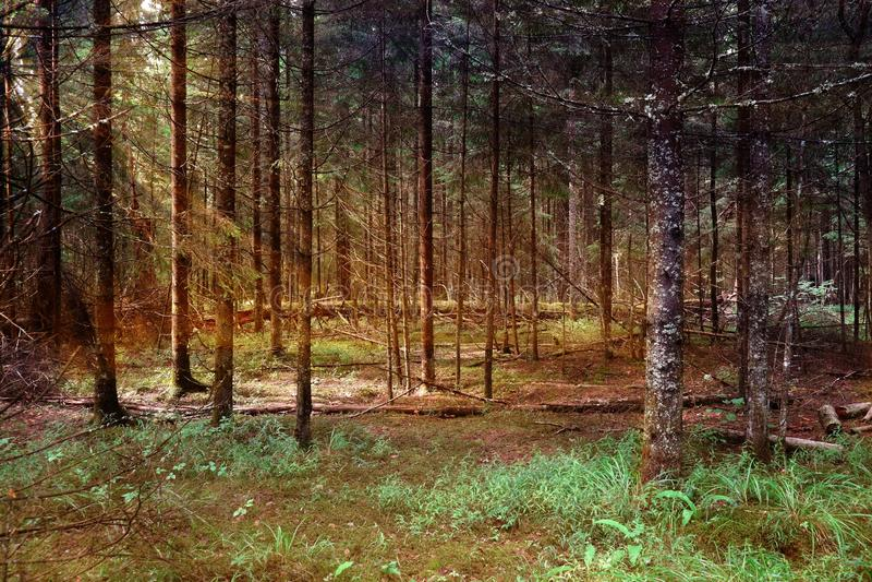 背景的森林地不可思议的森林和太阳光芒 免版税库存图片