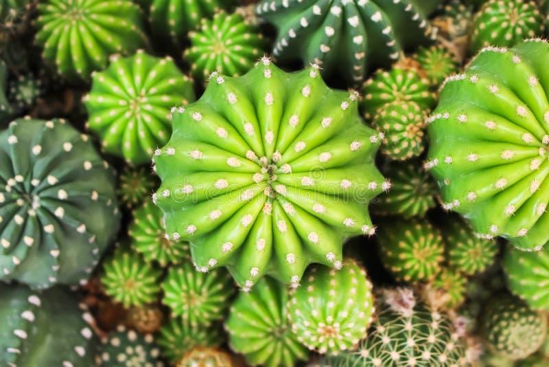 背景的,园林植物顶视图五颜六色的多彩多姿的绿色仙人掌小组自然样式纹理 库存图片