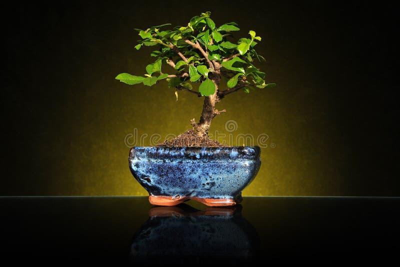 背景盆景陶瓷查出的罐小的结构树白色 免版税库存图片