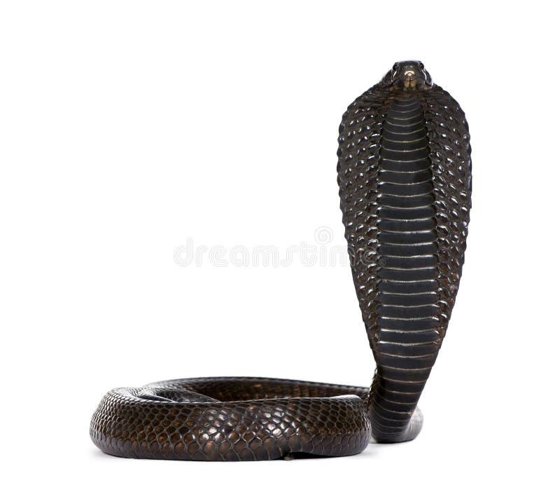 背景眼镜蛇埃及白色 库存图片