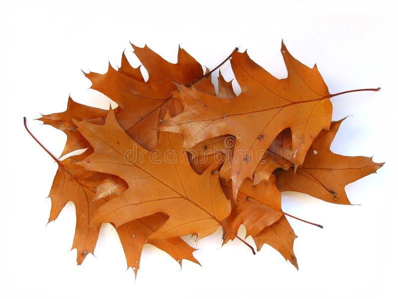 背景秋天留下橡木白色 库存照片