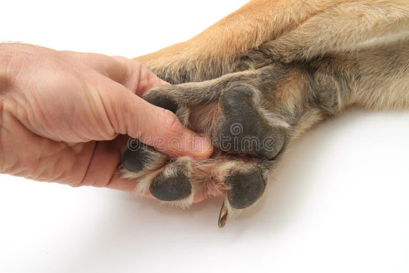 背景空白狗的爪子 库存照片