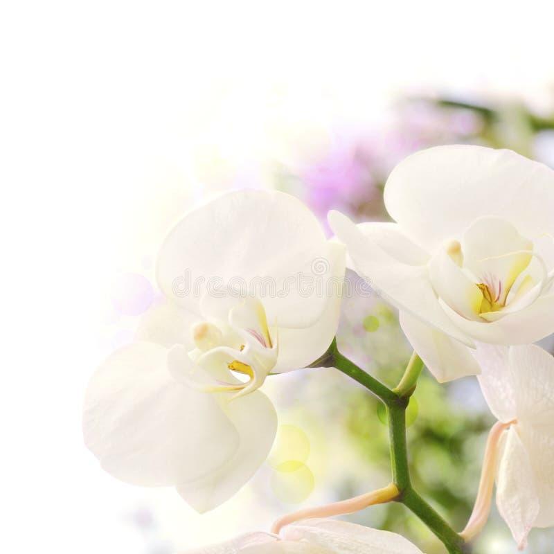 背景空白迷离的兰花 库存图片