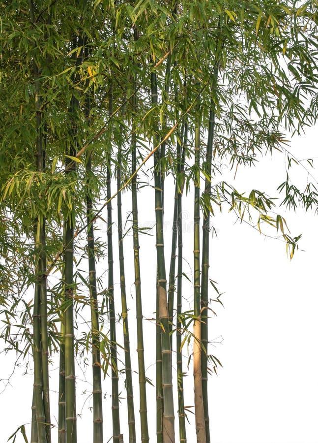背景竹子查出的白色 裁减路线 库存图片