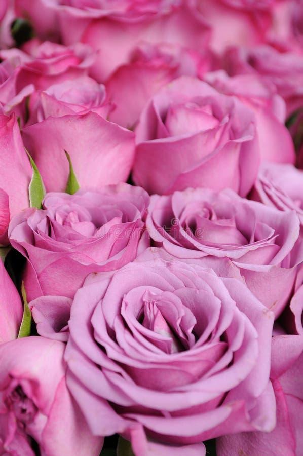 背景紫色玫瑰 免版税图库摄影