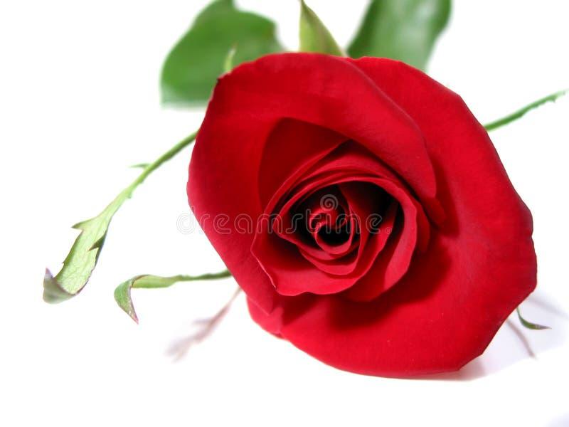 背景红色玫瑰白色 免版税库存图片