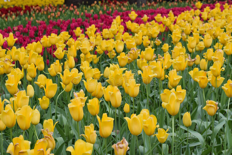背景红色&黄色颜色郁金香在庭院里开花 库存照片