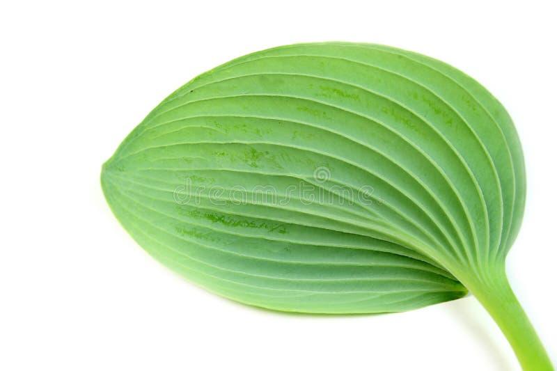 背景绿色叶子白色 免版税库存图片