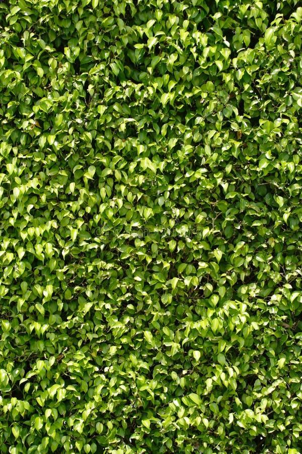 背景绿色叶子 图库摄影