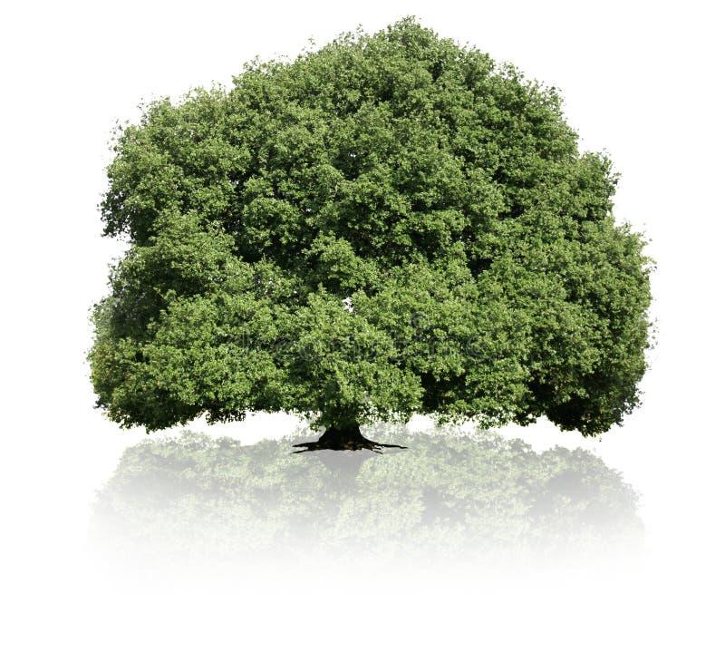 背景绿色查出的结构树白色 库存图片
