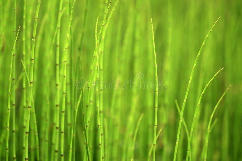 背景绿色马尾 免版税库存照片
