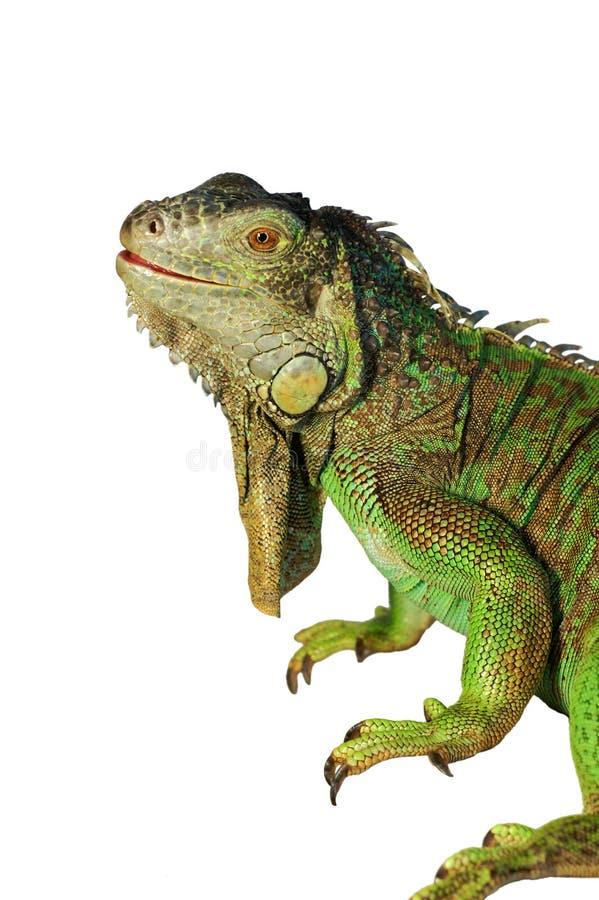 背景绿色鬣鳞蜥查出的白色 图库摄影