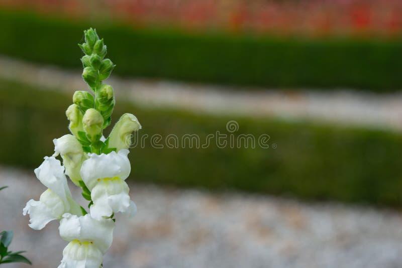 背景美丽的花 开花在庭院里的明亮的白花惊人的看法  库存照片