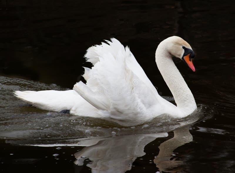 背景美丽的黑天鹅 免版税库存照片