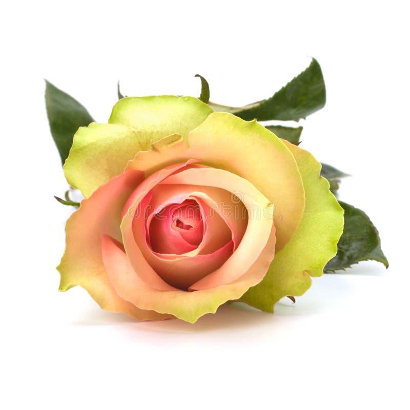 背景美好的查出的玫瑰白色 库存照片
