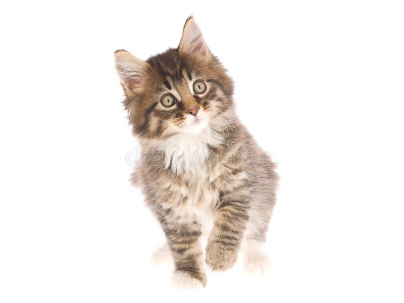 背景美好的浣熊小猫缅因白色 免版税库存照片
