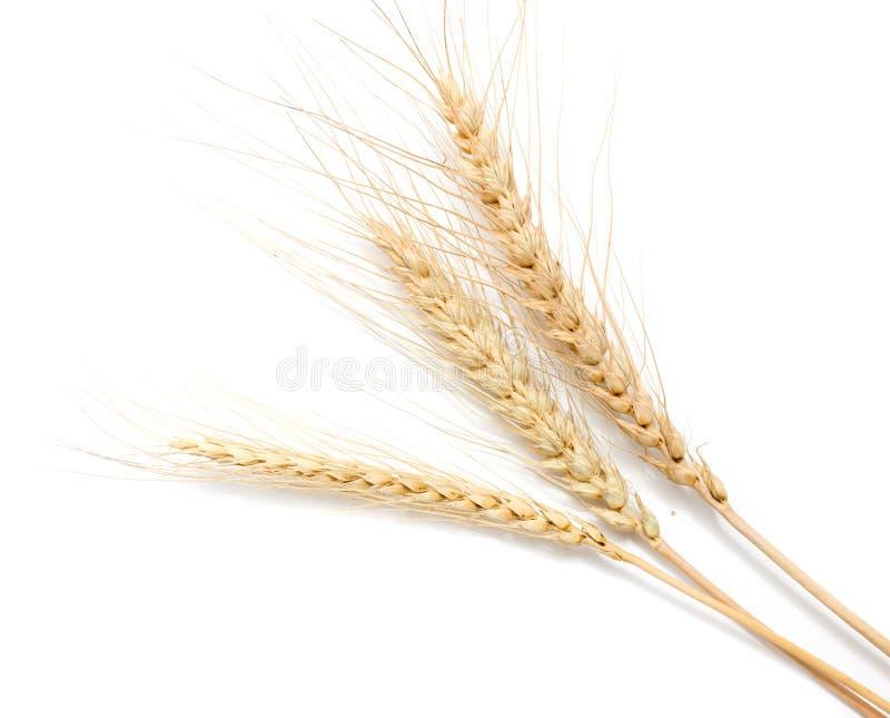 背景耳朵麦子白色 免版税库存图片
