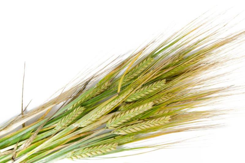 背景耳朵麦子白色 免版税库存照片