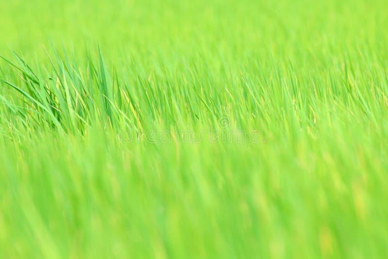 背景自然的,米领域,米叶子迷离的图象背景被弄脏的米领域绿色绿色为背景,米 免版税图库摄影