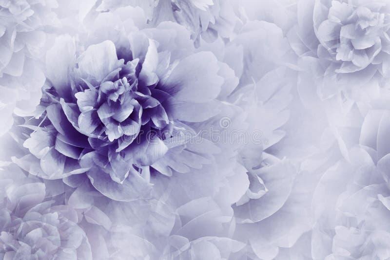 背景花卉紫色 牡丹开花在透明半音浅兰的背景的特写镜头 2007个看板卡招呼的新年好 皇族释放例证
