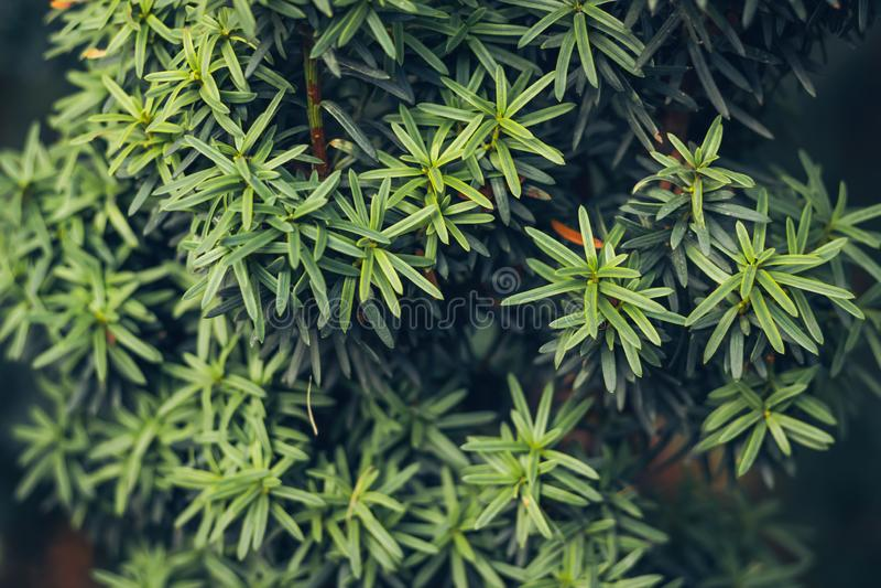 背景花卉绿色纹理 赤柏松或罗汗松baccata在冬天季节的分支特写镜头 免版税库存照片