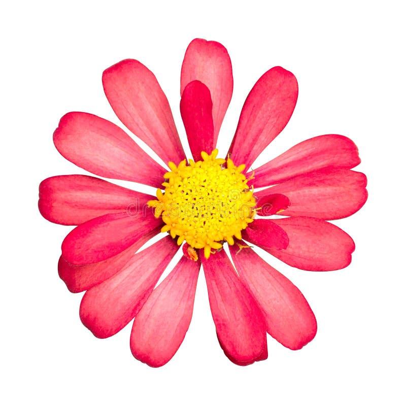 背景花查出的红色白色 有黄色花粉的美丽的开花 裁减路线 免版税库存图片