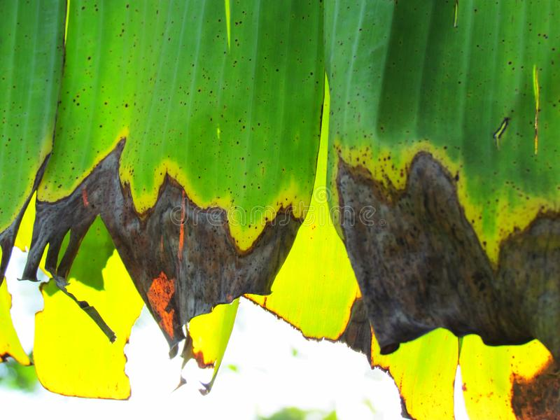 背景蓝色云彩调遣草绿色本质天空空白小束 关闭在干燥的开始和withere的香蕉叶子 库存照片