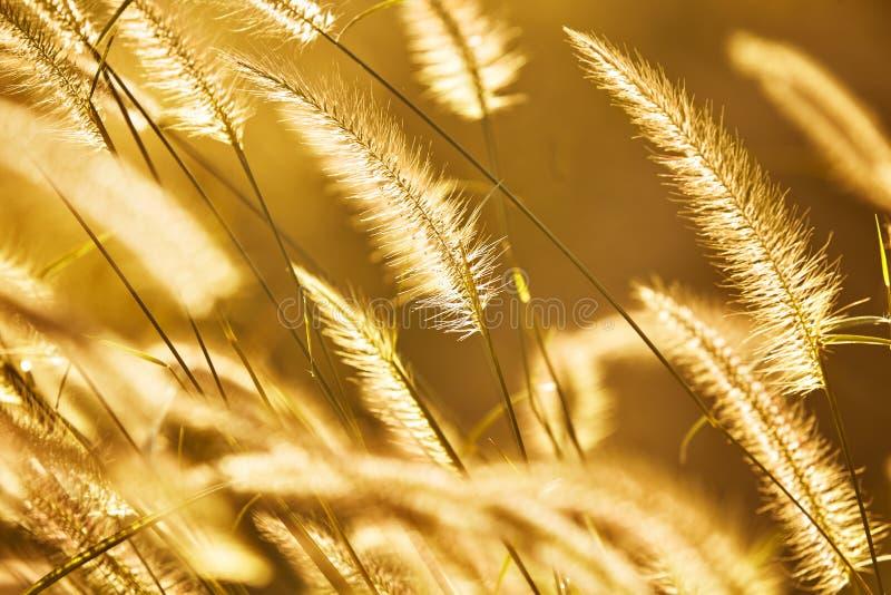 背景蓝色云彩调遣草绿色本质天空空白小束 在阳光下的草花在日落期间 P 免版税库存照片