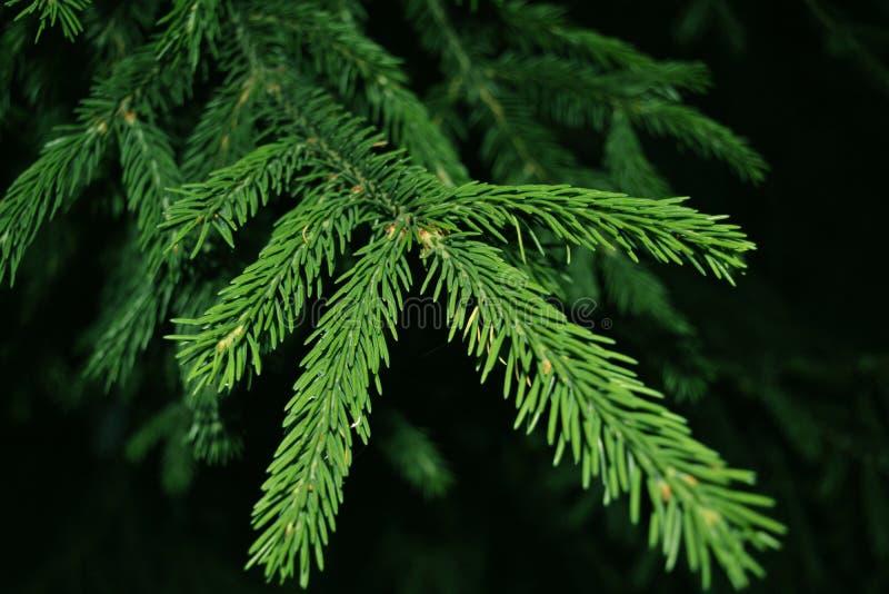 背景蓝色分行季节天空云杉冬天 绿色枝杈 库存照片
