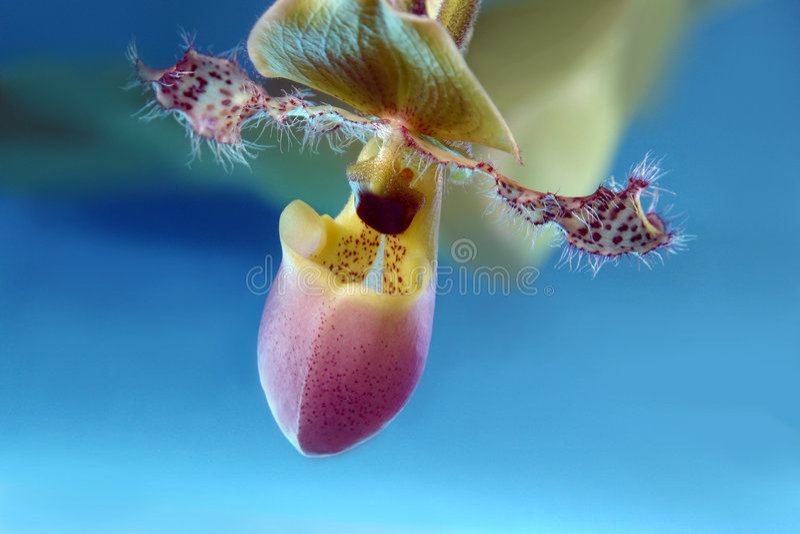 背景蓝色异乎寻常的兰花 免版税库存照片