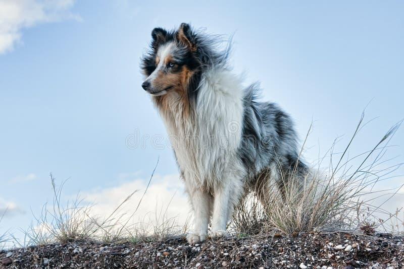 背景蓝色护羊狗舍德兰群岛天空 库存照片