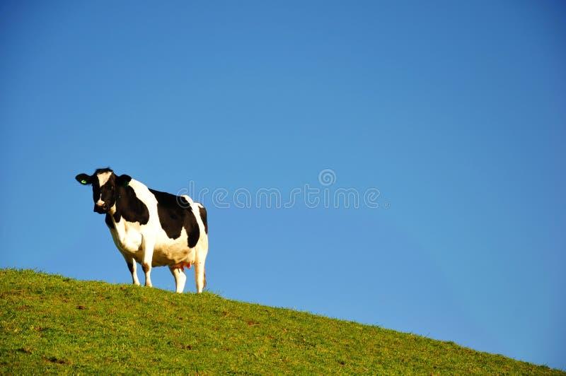 背景蓝色牛牛奶店天空 库存图片