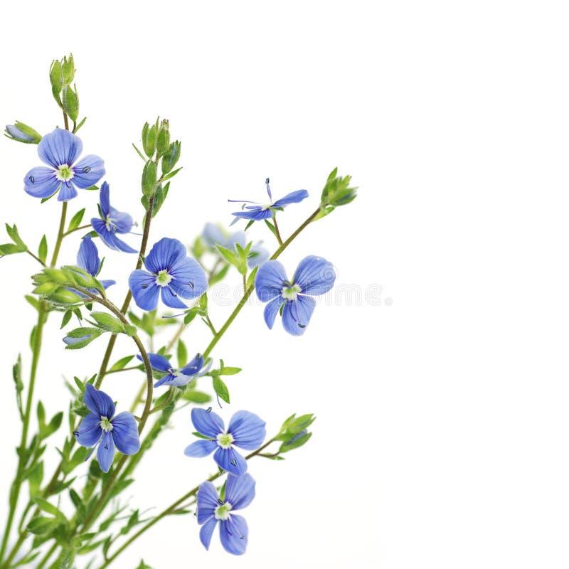 背景蓝色花白色 免版税库存图片