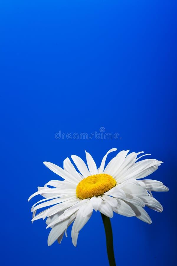 背景蓝色雏菊 图库摄影
