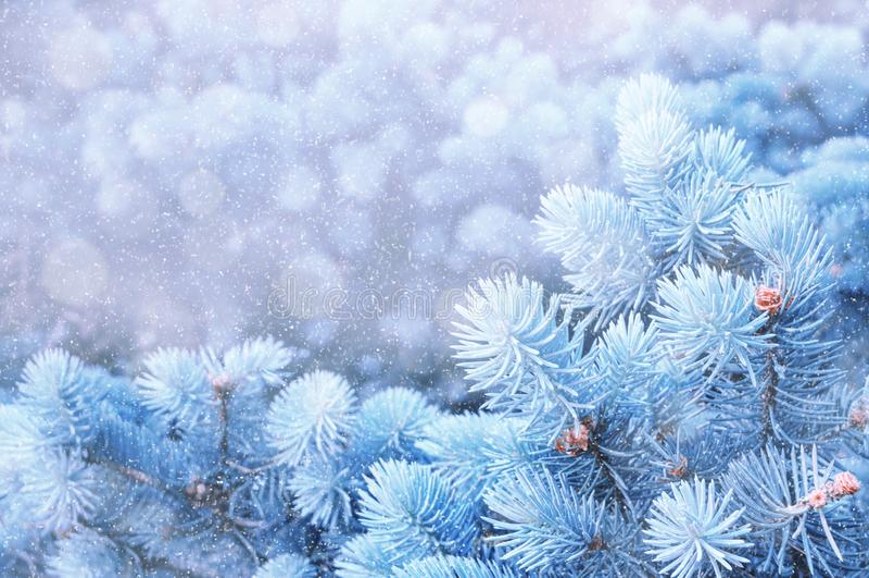 背景蓝色雪花白色冬天 蓝色冬天杉树分支在冬天降雪,冬天自然特写镜头下  库存照片
