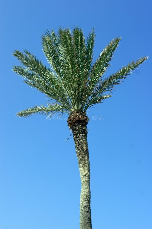 背景蓝色palmtree 库存图片