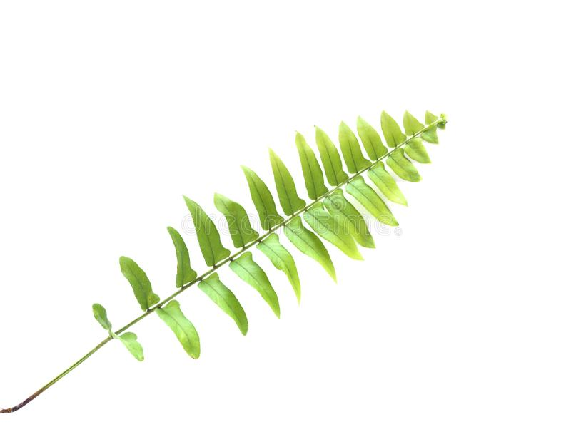 背景蕨绿色查出的叶子白色 免版税库存照片