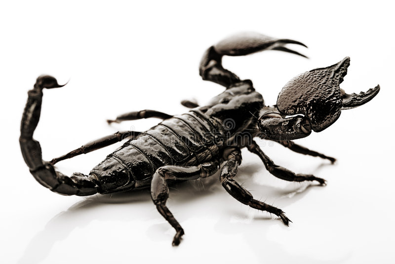 背景蝎子白色 库存照片