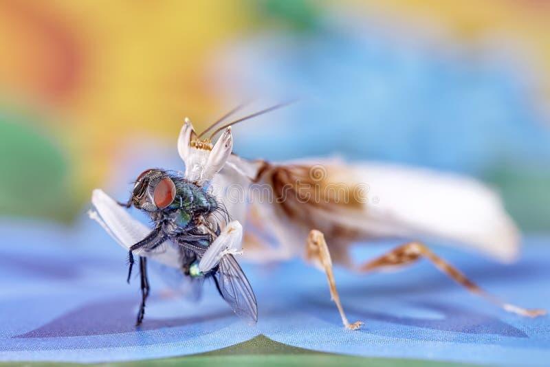 背景螳螂祈祷的白色 成年男性兰花螳螂 免版税库存照片