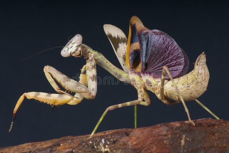 背景螳螂祈祷的白色 库存照片